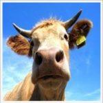 Vache à lait avec sa boucle d'oreille!